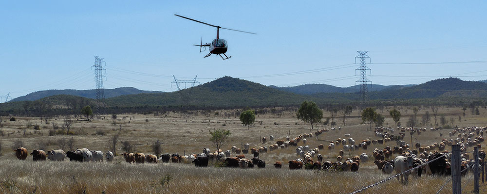 Helicopter-mustering